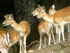 Famille de daims
