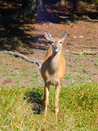 Femelle cerf de Virginie