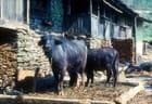 Ferme Sherpa proche du Tibet