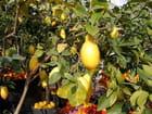 Fête des Citrons (25)