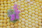 Fete des citrons à Menton