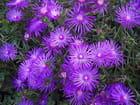 Feu d'artifice violet