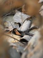 Feuille au ras du sol