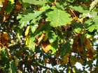 Feuilles de chênes