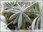 Feuilles de lupin cristallisées par le givre