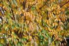 Feuilles de prunier en automne