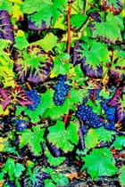 Feuilles et Grappes Raisins Ecueil septembre 2002