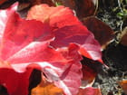 Feuilles rouges d'automne