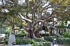 Ficus - Parc Apocada 1