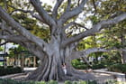 Ficus - Parc Apocada