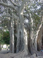Ficus sicilien