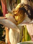 Fier maïs
