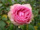 Fin d'une rose... offerte...