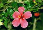 Fleur à la Guadeloupe