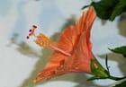 Fleur althea