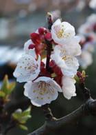 Fleur d'abricoter