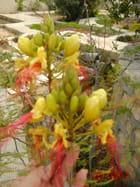 Fleur d'acacia d'Istambul 1