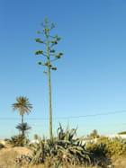Fleur d'agave sur ciel bleu