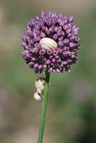 Fleur d'ail
