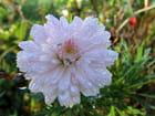 Fleur d'anthémis et son compagnon!