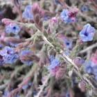 Fleur d'echiochilon