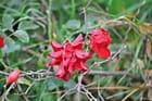 Fleur d'eglantier