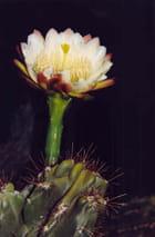 Fleur d'une seule nuit