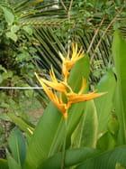 Fleur de balisier à kourou