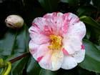 Fleur de camélia bigarrée