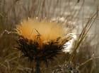 Fleur de chardon dans le marais...