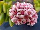 Fleur de crassula