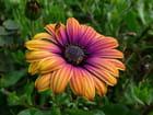 Fleur de dimorphotéca