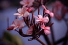 Fleur de frangipanier...