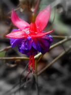 Fleur de fuchsia