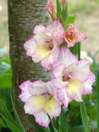 Fleur de glaïeul