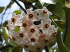 Fleur de Hoya