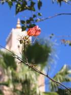 Fleur de koutoubia