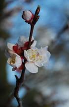 Fleur de l'abricotier