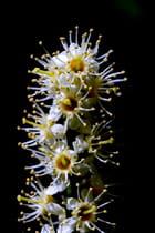 Fleur de laurier palme