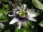 Fleur de maracudja