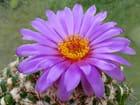 Fleur de notocactus