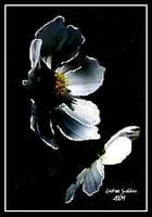 """""""Fleur de Nuit""""."""