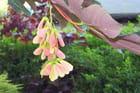 Fleur de platane