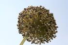 Fleurs de poireau