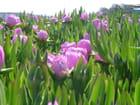 Fleur de turquie