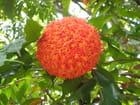 Fleur du Sri Lanka