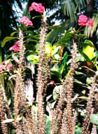 Fleur Lao
