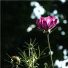 Fleur rose à la lumière du soir