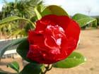 Fleur ....très rouge !!