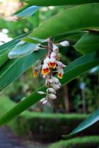 fleur  tropicale